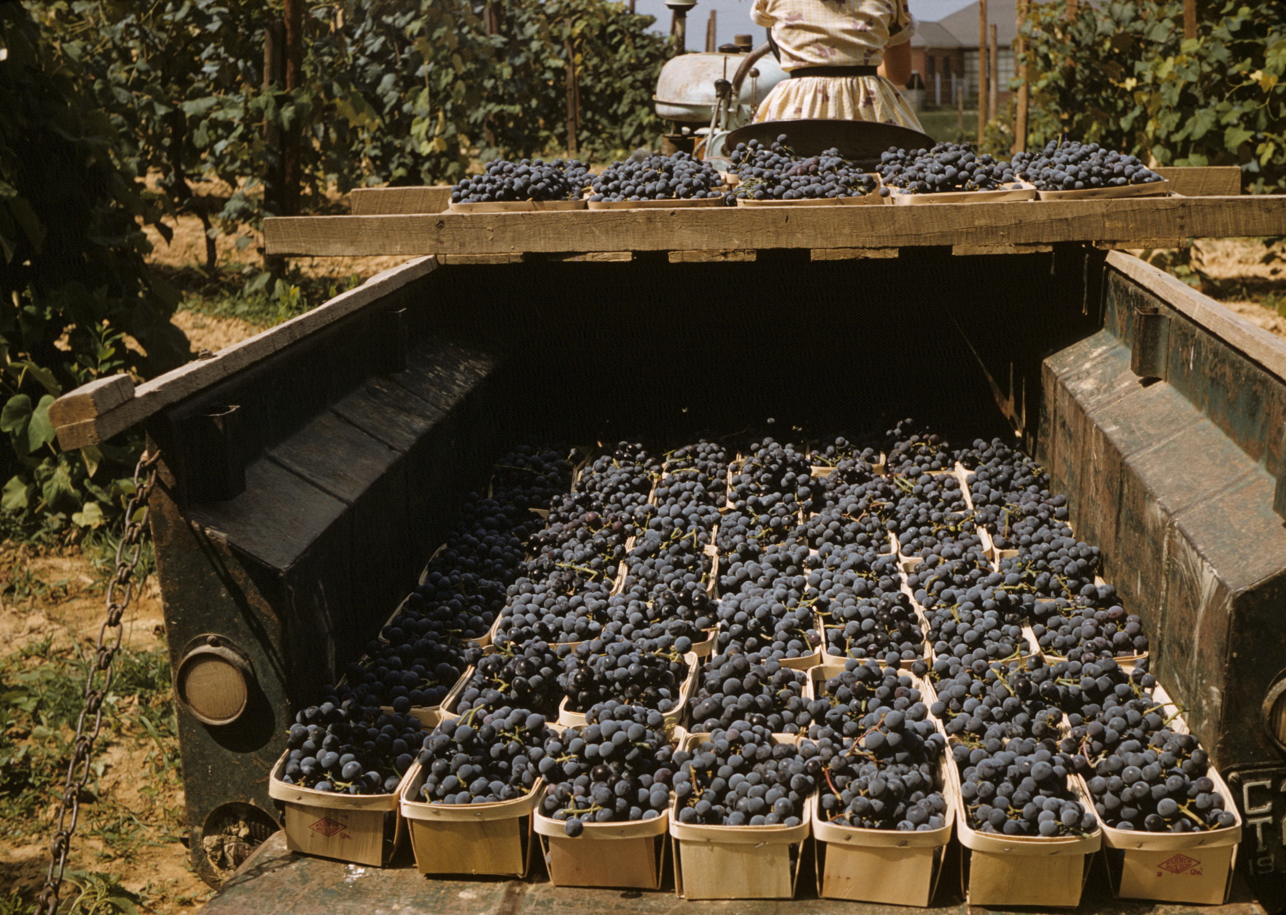 Hauling freshly picked grapes in the 1960's. Wenger Grapes.