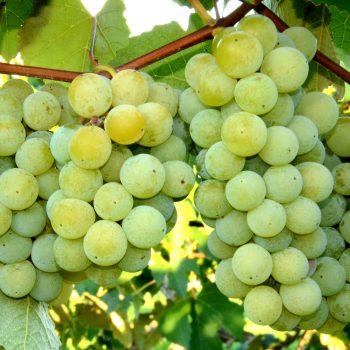 Niagara grapes at Wenger Grapes.