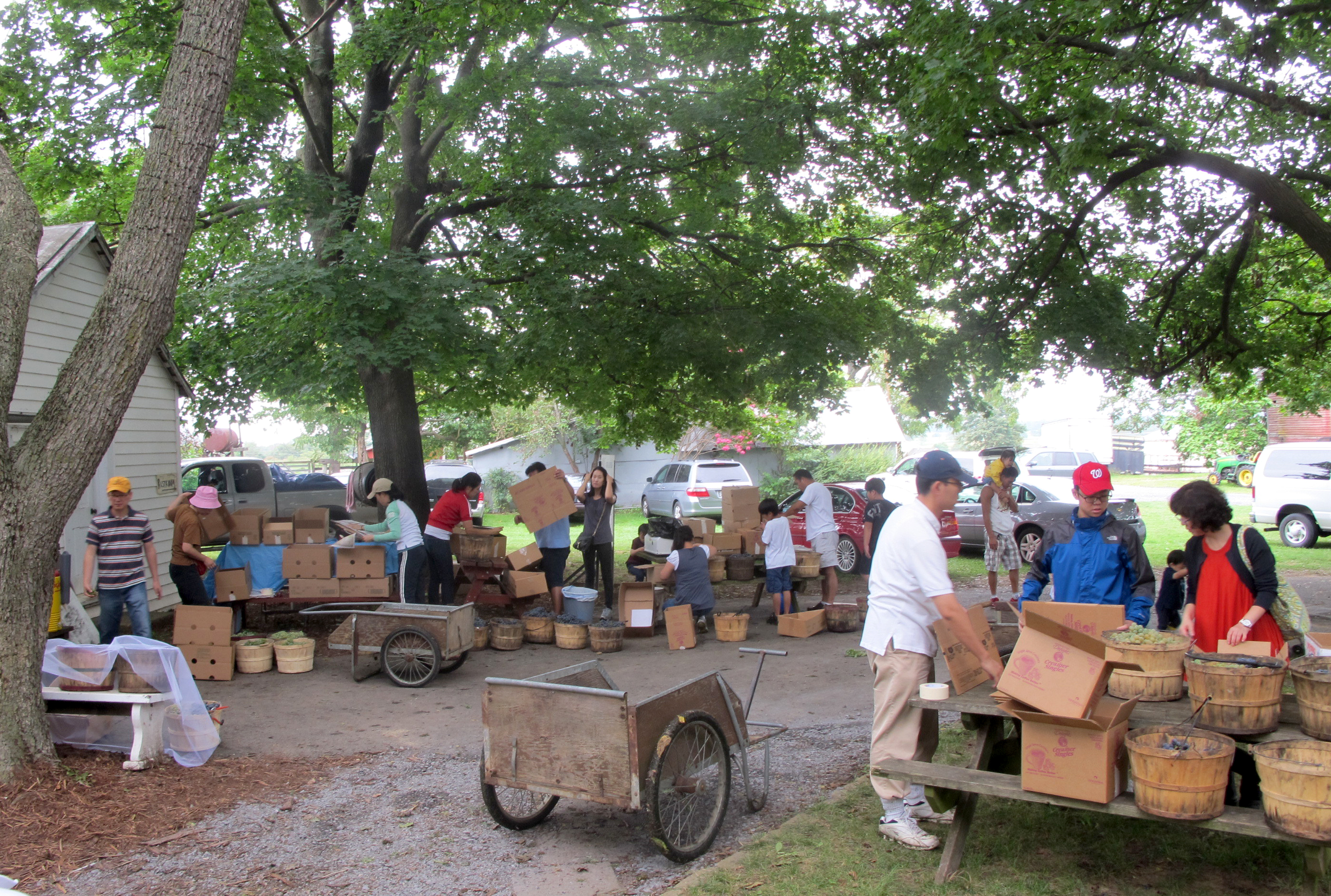 A busy day Wenger Grapes' farm stand where Pick Your Own customers transfer their grapes from baskets into boxes. Gardenway carts are used to haul haul baskets to and from the field.