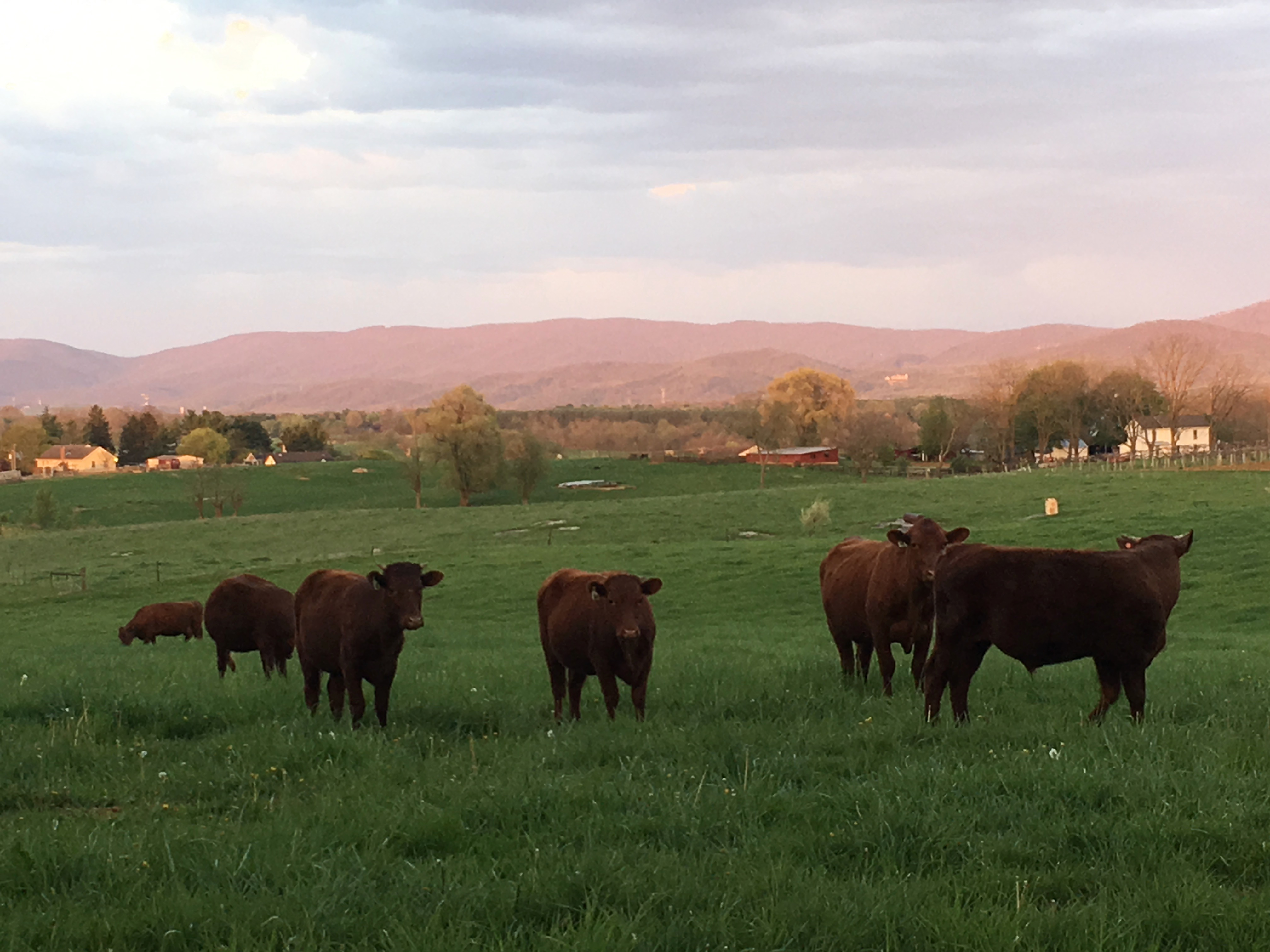 Devon cattle at Wenger Grapes, grass fed beef, grain free